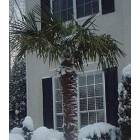 Smyrna: Palm trees in Smyrna (Winter)