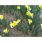 Round Rock: Round Rock is the daffodil capitol of Texas