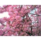 Belleville: Belleville cherry blossoms, up close