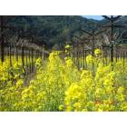 Yountville: Mustard Blooms in a Yountville vinyard