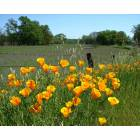 Orland: Poppies, Orland CA...