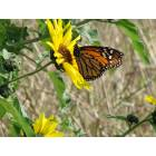 Weslaco: Butterfly at Curlew Pond