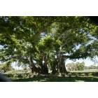 Palm Beach Gardens: John D. MacArthur's Historic Banyan Tree