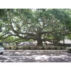 Baranoff Oak in Downtown