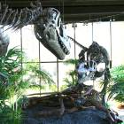 Woodland Park: Albertosaurus fight scene at the Rocky Mountain Dinosaur Resource Center