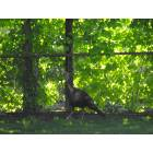 Butler: Wild turkey on Gifford Street-May 17th, 2008