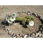Quartzsite: Cactus in bloom