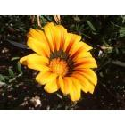 Murrieta: Sun Flower by Walmart at Madison Avenue, Murrieta