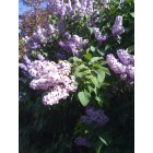 Yreka: A Town of Beautiful Lilacs Everywhere