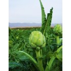 Coachella Valley: Artichoke Field in Coachella Valley