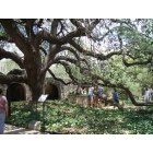 San Antonio: Oak Tree at the Alamo