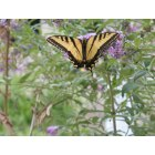 Mariposa: Swallowtail butterfly near the Courthouse