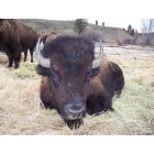 Elgin: elgin,buffalo bull