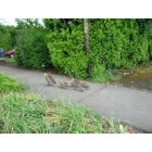 Eugene: Geese family on a stroll on River Road, Eugene