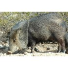 Congress: Javalina walking up Tenderfoot Street, Congress, AZ