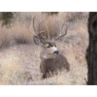 Prineville: Buck Muley near Prineville Reservoir