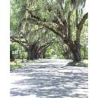 Historic South Brooksville Avenue\'s majestic oaks