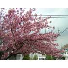 Elmer: Cherry blossoms at corner of Main and Third Streets, Elmer, NJ