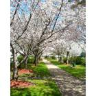 Yashino Cherry trees bloom on Macon\'s 3rd Street