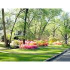 Residential Street in the spring when the Azaleas are blooming.  Tyler, TX