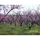 Peachtree's in bloom @ Drewry Farm & Orchards, Dover, Arkansas, 72837