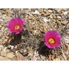 Hobbs: catus flower