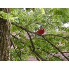 Fort Smith: Cardinal Red Bird