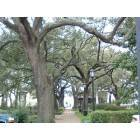 Savannah: beautiful trees in downtown Savannah