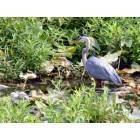 Milford: Great Blue Heron along the Mispillion River Walk - Milford, DE