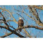 Bald Eagle near Black Dog Road