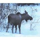 Meadow Lakes: A Moose in my yard on Angel Drive