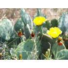 Trent: Spring Catus Flowers Near Trent