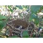 Harwinton: While blueberry picking, we came across this nest. There are two eggs and two blueberries in it!