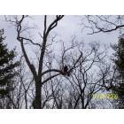 LaCoste: a bald eagle in the tree on rte 402 in PA
