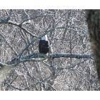 Kingston Springs: A bald eagle along the Harpeth River: taken 2007