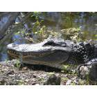 Marrero: Jean Lafitte State Park in Marrero, Louisiana ( alligator )