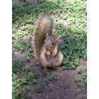 New Braunfels: Squirrel eating at Landa Park