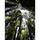 Felton: The Big Trees... looking straight up and zooming in