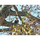 Clayton: A picture of a Pileated Woodpecker in a pecan tree; Clayton, NC