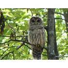 Huntsville: Owl in monte sano state park