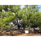 Long Beach: This is the Friendship Oak at the University of Southern Mississippi Gulf Park campus. It is 500+ years old!