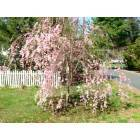 Great Weeping Cherry Tree in Rye Brook