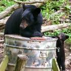 Wellsboro: Mama Bear and Her Tippy Toed Cub Visiting Our Deer Feeder