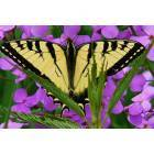 Wellsboro: Wild Phlox Butterfly at the Marsh Creek Path