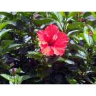 Savannah: Red Hibiscus - Forsythe Park