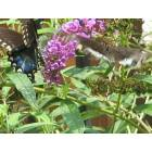 Sneads Ferry: Butterflies in Sneads Ferry
