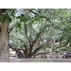 Banyon tree in  Lahaina Maui Hawaii