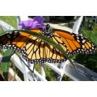 North Port: Monarch in the garden, North Port Fl