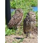 Punta Gorda: Protected burrowing owls, Punta Gorda, Florida (see movie
