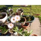 Greenwood: barrel cactus with 3 to 6 blooms at a time